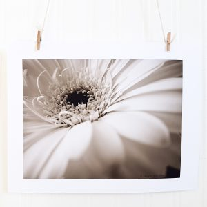 Gerber Daisy I photograph hangs suspended by 2 miniature clothespins against a white background. Close up of a gerber daisy blossom facing up and to the left.