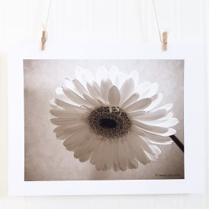 Gerber Daisy III photograph in black & white hangs suspended by 2 miniature clothespins against a white background. Backlit image of a gerber daisy blossom hanging down and to the left.