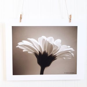 Gerber Daisy IV photograph in black & white hangs suspended by 2 miniature clothespins against a white background. Backlit profile image of a gerber daisy.