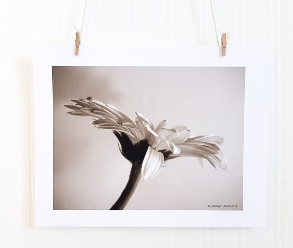 Gerber Daisy V photograph in black & white hangs suspended by 2 miniature clothespins against a white background. Profile image of a gerber daisy.